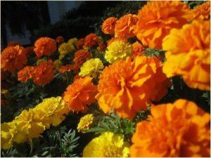 marigold_01_pic