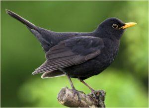black_bird03_pic